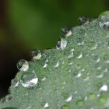 Waterdrops on Leaf Hairs