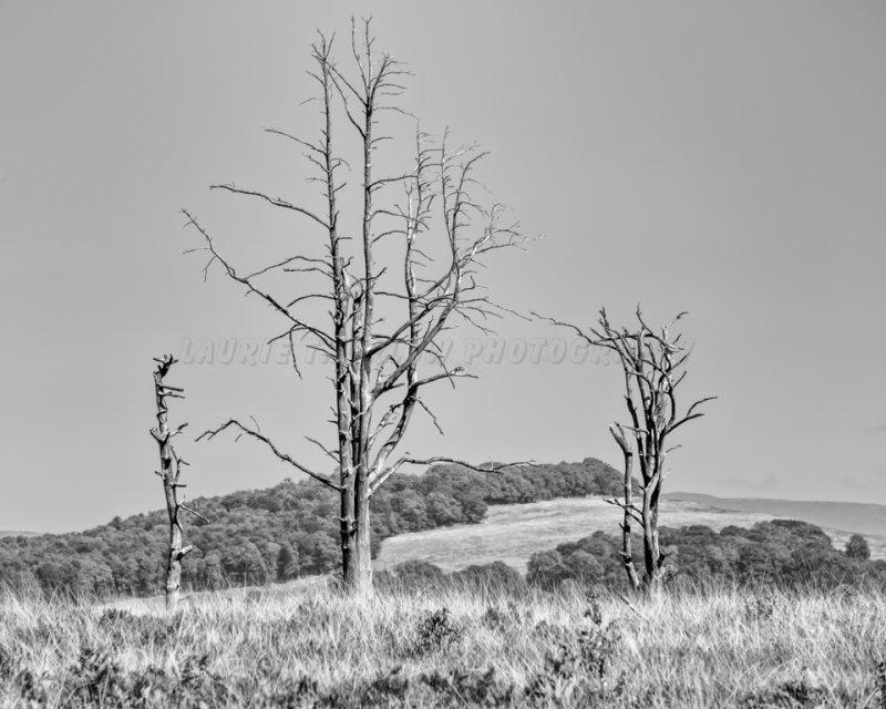 Dead Trees 1