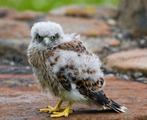 Young Kestral