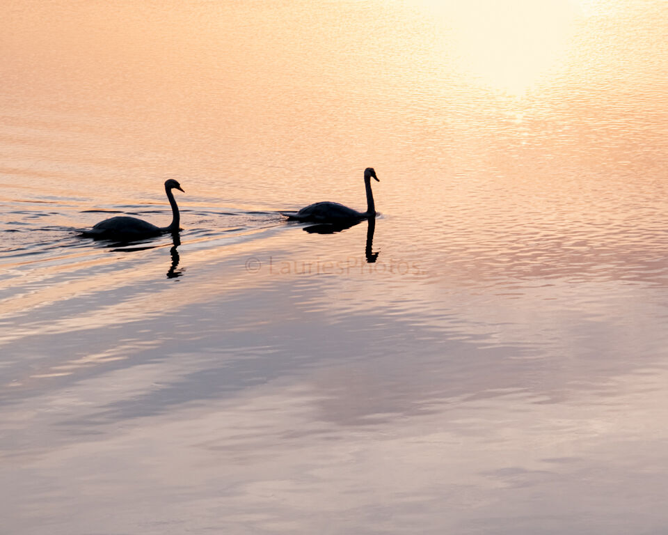 Two Swans a Swimming 3.