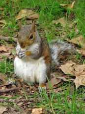 Grey Squirrel, London