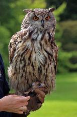 Long Eared Owl, Muncaster Castle