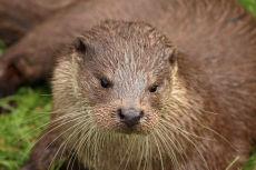 Otter1, BWC Surrey