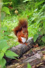 Red Squirrel2, BWC Surrey