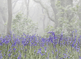 Bluebells in the Misty Woods
