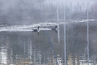 Canadian Geese in the Mist