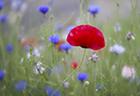 Poppy & Cornflowers 2