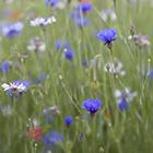 Cornflowers 2
