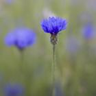 Cornflowers 3