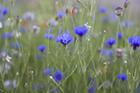 Cornflowers 5
