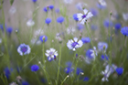 Cornflowers 6