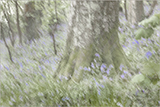 Impressionist Bluebell Woods