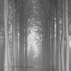 Lines of Trees Mono
