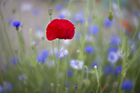 Poppy & Cornflowers