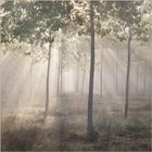 Sunbeams in the Misty Woods