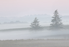 Fir Trees in the Mist