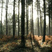 Sepia Woods