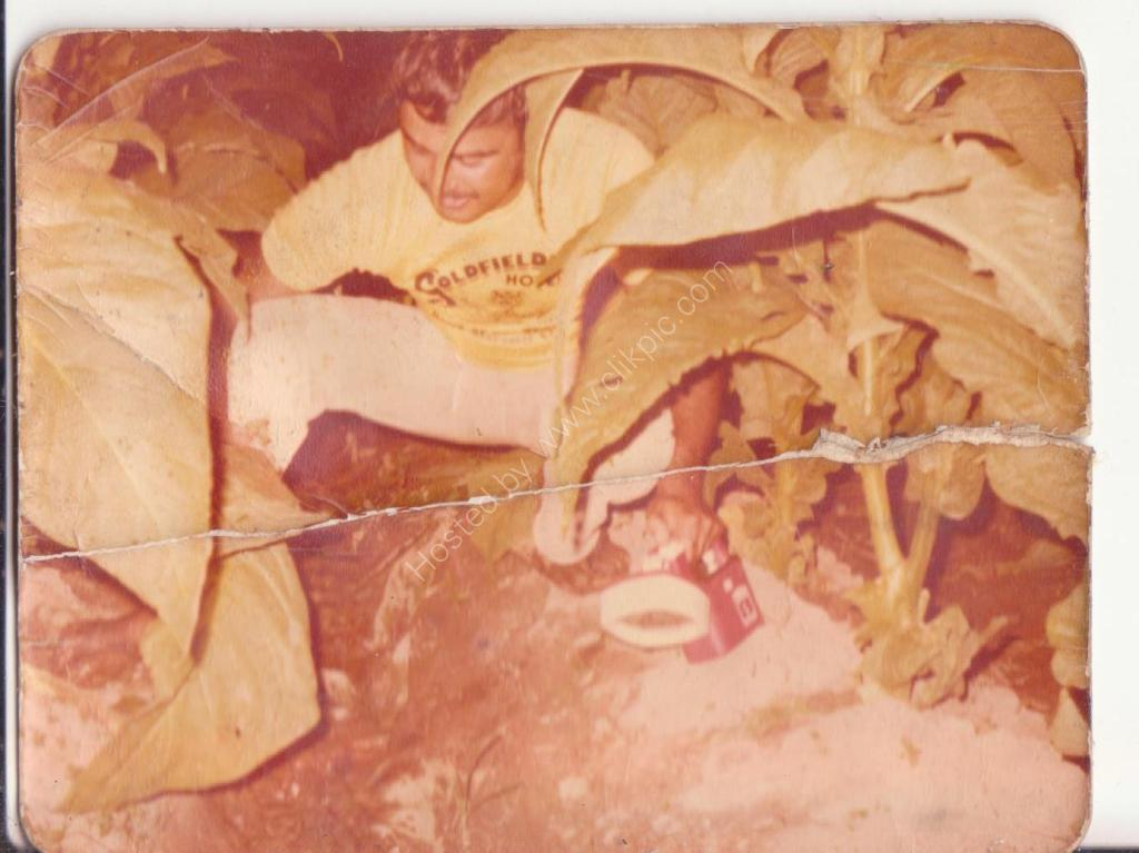 1981 picking Tobacco Mareeba Nth QLD