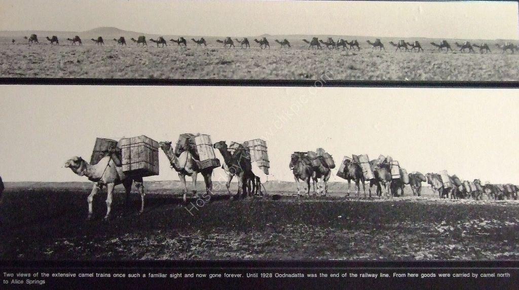 Camel train of old Oodnadatta track