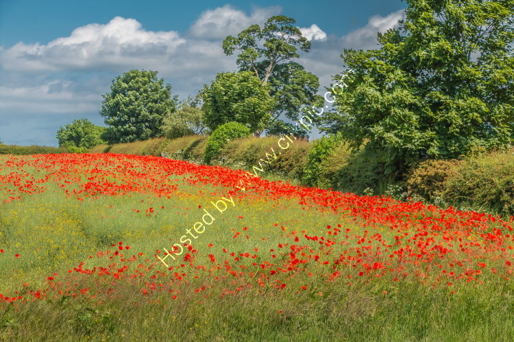 Vivid red poppies amongst a maturing oil seed rape crop