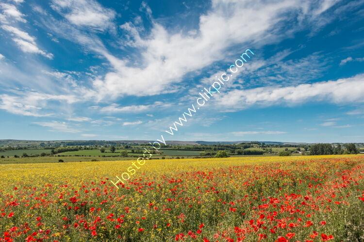 Poppies Rape and a Big Sky