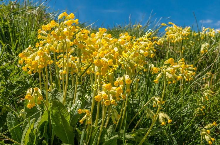 Flowering Cowslips