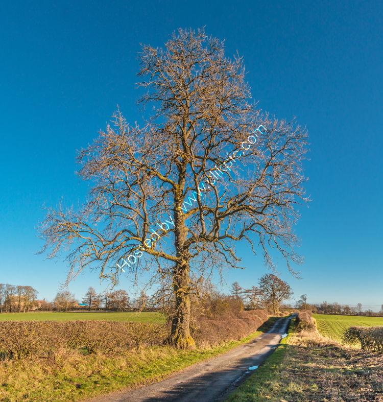 Solitary Sycamore in Winter Sun