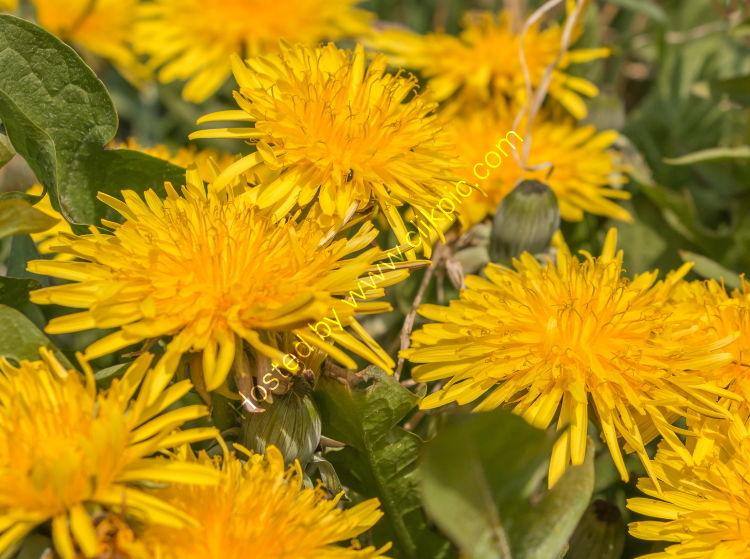 Flowering Dandelions