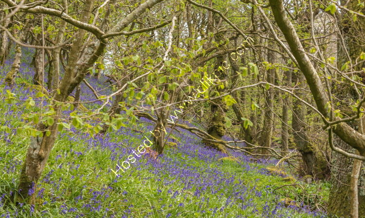 Springtime Bluebell Wood
