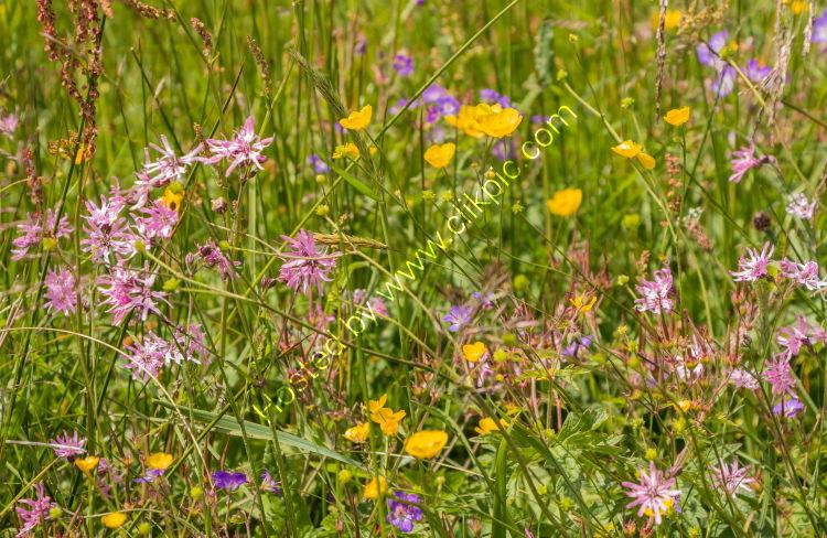 Road Verge Wild Flowers
