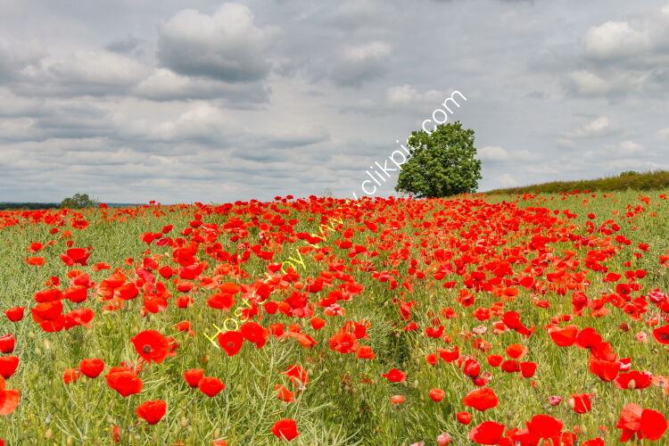 Field Poppies at West Middleton