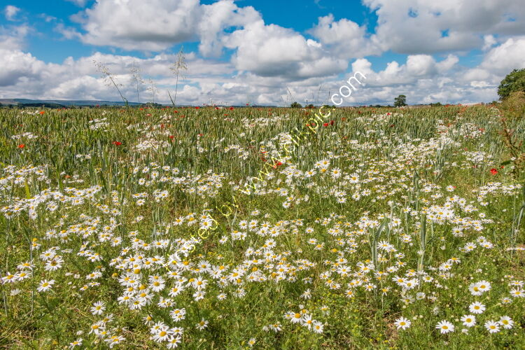 Ox-Eye Daisies and Poppies