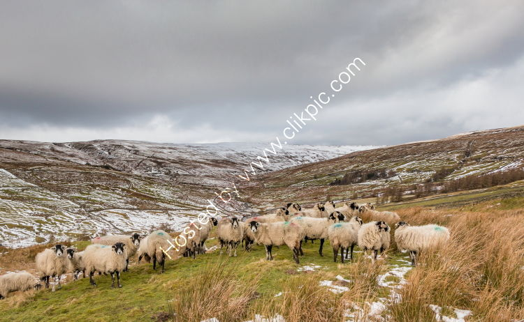 Swaledales in the Hudes Hope
