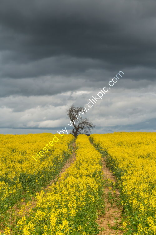 OSR Crop with Dramatic Light and Sky