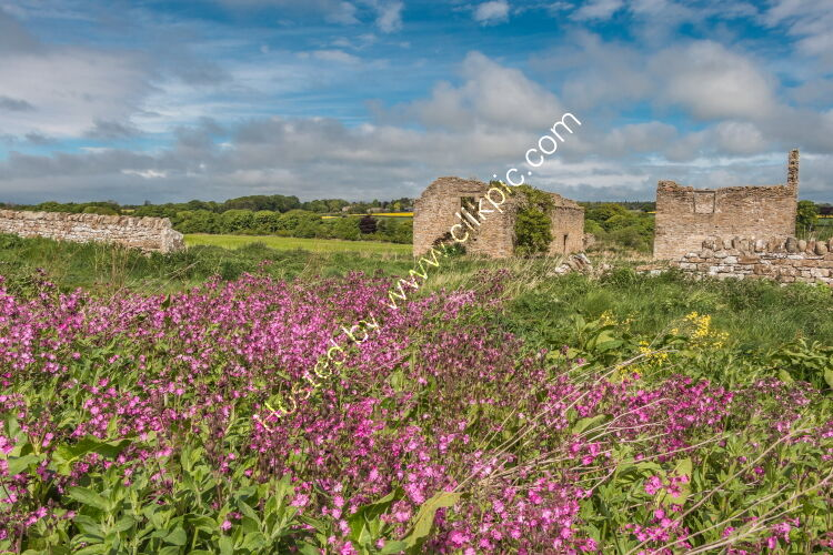 Ruined Barns and Red Campion