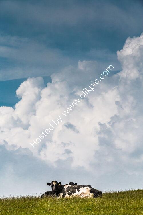 Bovine Big Sky