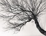 The Tree XXXIII
