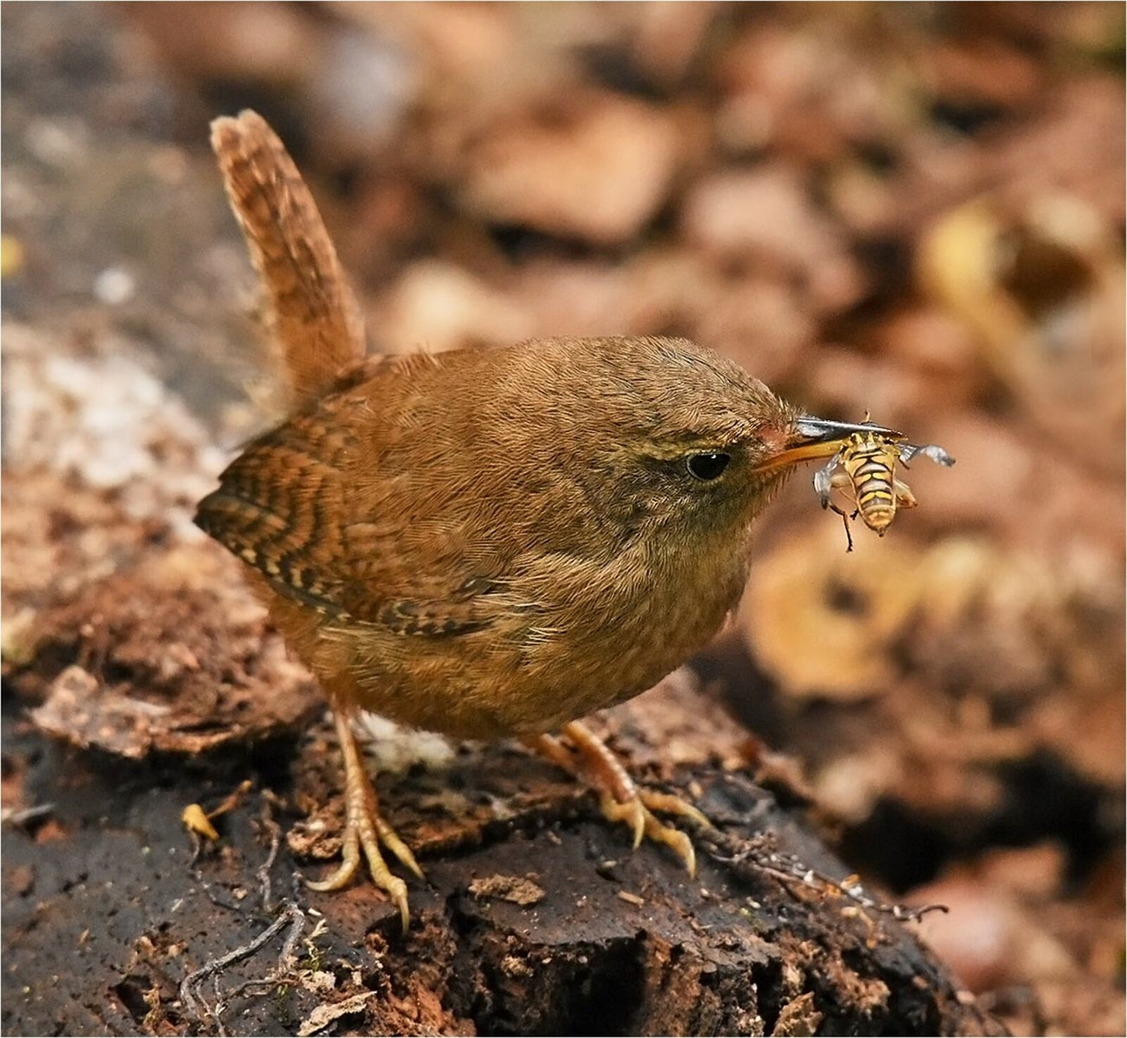 Wren with Wasp