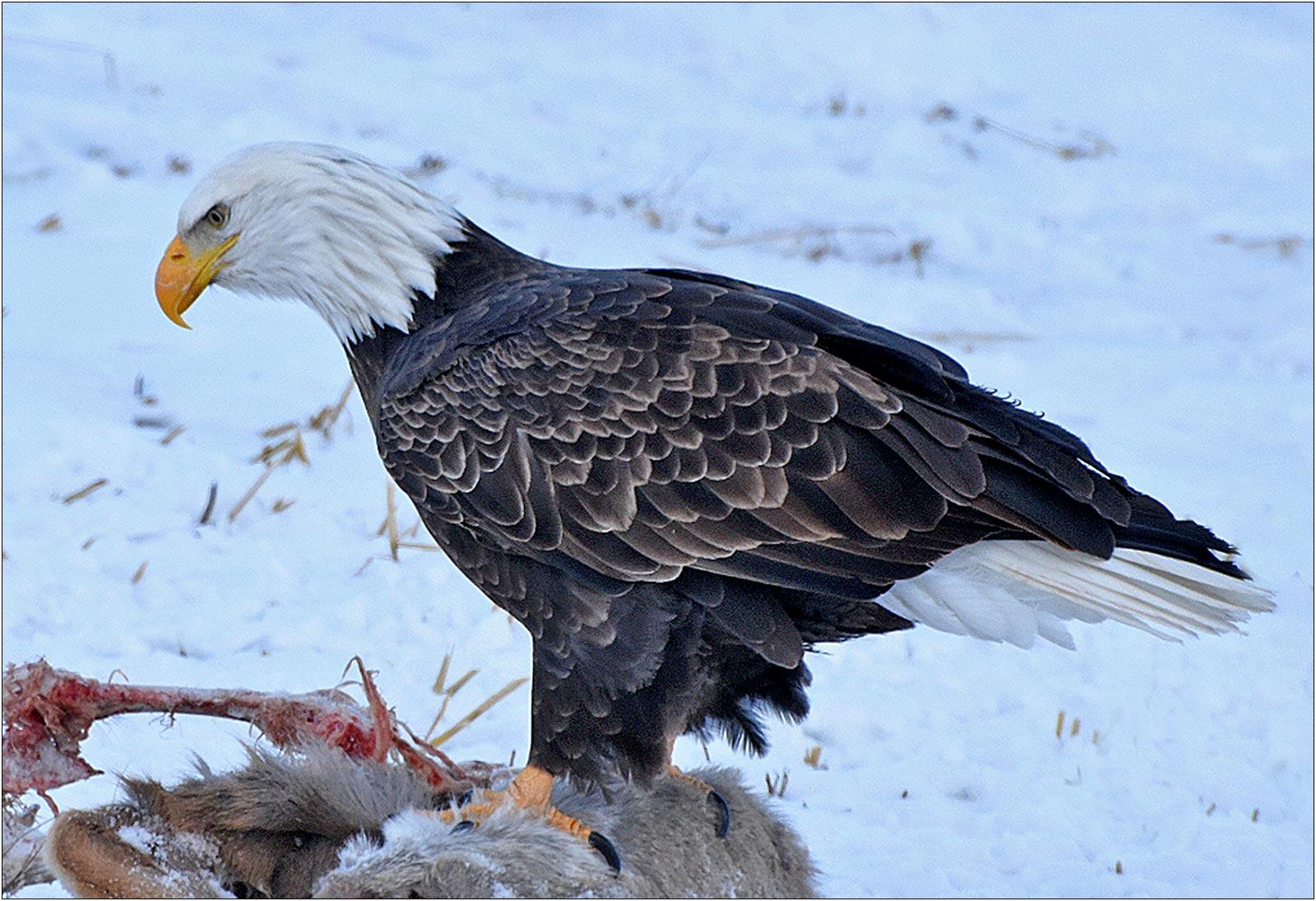 Bald Eagle on Roadkill