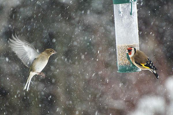 Chaffinch & Goldfinch