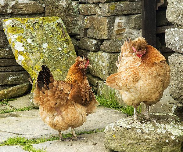 Orkney Hens