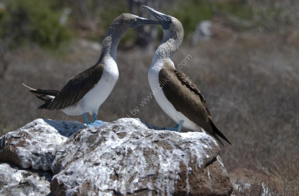 Blue Footed Boobies Galapgos
