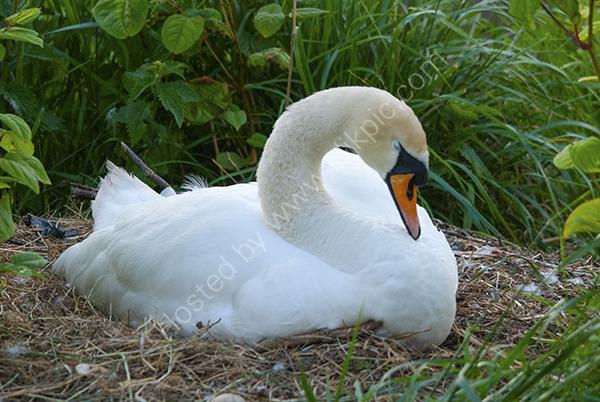 Mute Swan asleep at nest