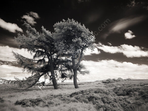 Lammermuir trees