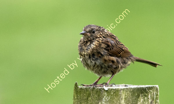 Juvenile Meadow Pipit in the rain