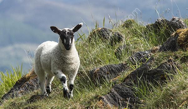 Blackface lamb