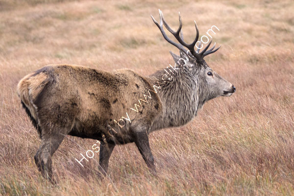 Battle Scarred Red Deer Stag