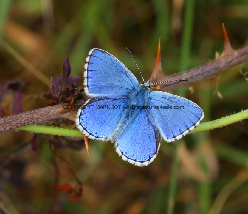 Adonis Blue (male) (5)