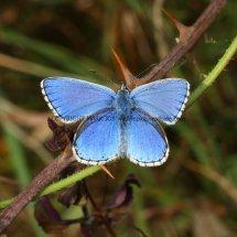 Adonis Blue (male) (6)