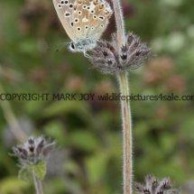 Adonis Blue (male) (7)